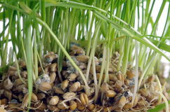 Cereale verde isolato Fotografia Stock Libera da Diritti