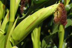 Cereale - Zea maggi - corncob Immagini Stock Libere da Diritti