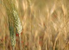 Cereales del primer Imagen de archivo libre de regalías