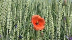 Cereales, Poppy Flower o símbolo de la conmemoración de soldados metrajes