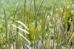 Cereales, viento Imágenes de archivo libres de regalías
