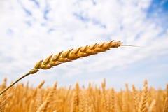 Cereali Fotografie Stock