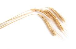 Cereali della segale isolati sui precedenti bianchi immagine stock libera da diritti