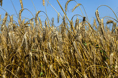 Cereali di agricoltura Estate Fotografia Stock Libera da Diritti
