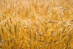 Cereali dorati del frumento Immagini Stock Libere da Diritti