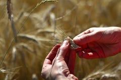 Cereali dorati, grano dorato in mani Fotografia Stock