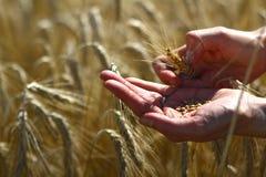 Cereali dorati, grano dorato in mani Immagini Stock
