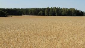 Cereali dorati, spighe del granoturco, cereale accanto alla foresta Immagini Stock Libere da Diritti