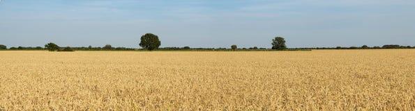 Cereali e campi con l'orizzonte verde degli alberi Immagine Stock