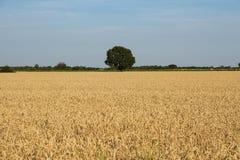 Cereali e campi con l'orizzonte verde degli alberi Fotografia Stock