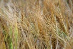Cereali e grano Fotografia Stock