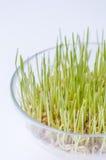 Cereali germinati in vaso di vetro Fotografie Stock