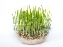 Cereali germinati in vaso di vetro Immagini Stock Libere da Diritti