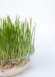 Cereali germinati in vaso di vetro Fotografia Stock
