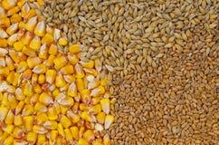 Cereali - grano, orzo e mais Fotografie Stock Libere da Diritti