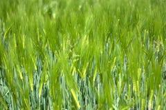 Cereali organici Fotografie Stock