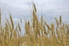 Cereali panificabili del raccolto del grano delle orecchie del campo Fotografia Stock