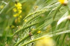 cereali Selvaggio-coltivanti sul prato verde in i clo di primavera Fotografia Stock