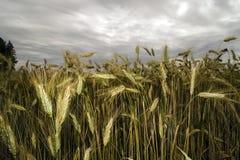 Cereali sotto il cielo scuro Fotografie Stock Libere da Diritti