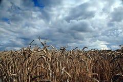 Cereali sotto l'annuvolamento Fotografia Stock Libera da Diritti