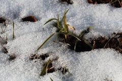Cereali vernini su un campo nevoso Fotografia Stock