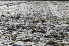 Cereali vernini su un campo nevoso Immagini Stock