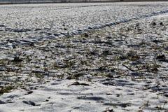 Cereali vernini su un campo nevoso Fotografia Stock Libera da Diritti