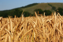 Cereals. Cornfield before harvest with a hill in the background Stock Photos