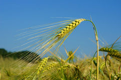 Cereals. Many cereals on a field Stock Image
