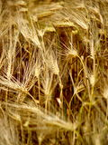 CEREALS. Mixture wheat and rye Royalty Free Stock Images
