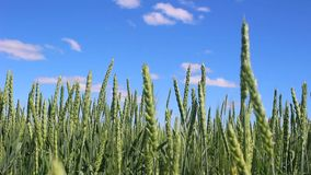 Cereals on the background of a beautiful blue sky with clouds. stock video footage