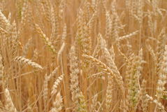 Cereals and cereal ears. On the field before harvest royalty free stock photos