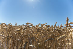 Cereals crop Royalty Free Stock Photography