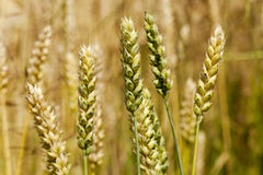 Cereals Royalty Free Stock Photography