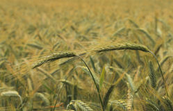 Cereals field Royalty Free Stock Image