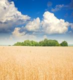 Cereals field Stock Photo