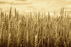 Cereals in a field Stock Photo