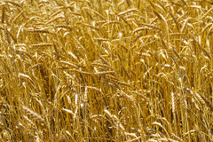 Cereals field backgrounds of wheat Stock Images