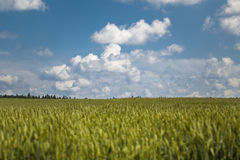 Cereals field and blue sky Royalty Free Stock Image