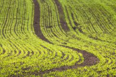 Cereals field Royalty Free Stock Photography