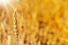 Cereals field, gold yellow summer background Royalty Free Stock Images