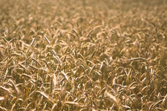Cereals Field Grain Stock Photography
