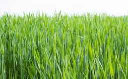 Cereals field. Image of cereal plants with white background Stock Image