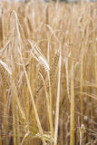 Cereals field. Image of some cereals on a field Stock Images