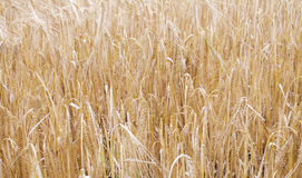 Cereals field. Image of some cereals on a field Royalty Free Stock Images