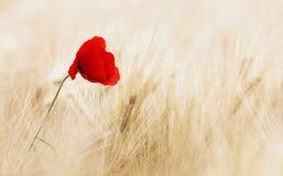 Cereals, Field, Ripe, Poppy Stock Image