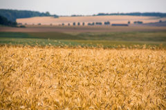 Cereals field in summer Stock Photo