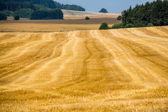 Cereals field in summer Stock Image