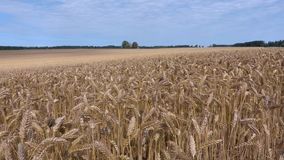 Cereals field with yellow ears. In summer day stock video footage
