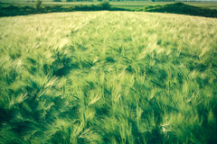 Cereals fields are progressing well Stock Photo